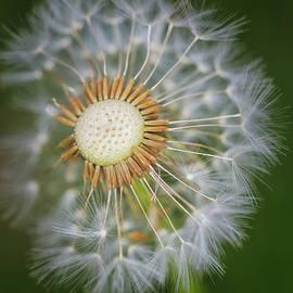 Dandelion In Macro by Scott Burd