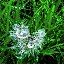 Dandelion with Dew Drops by Peggy McCormick