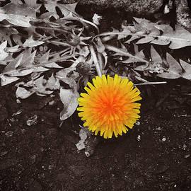 Dandelion by Yuri Lev