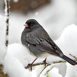 Dark-Eyed Junco in Winter by Lyuba Filatova
