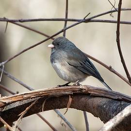 Dark-eyed Junco Spring by Marlin and Laura Hum