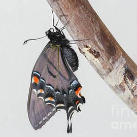 Dark Form Tiger Swallowtail by Megan McCarty