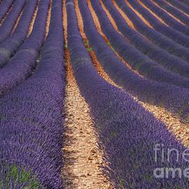 Dark Lavender Rows in Provence by Bob Phillips
