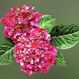 Dark Pink Hydrangea by Susan Savad