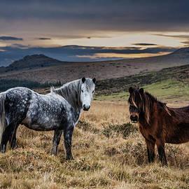 Dartmoor Ponies, Devon, UK. by Maggie Mccall