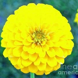 Dashingly Beautiful Zinnia by Ann Brown