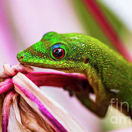 Day Gecko holds on to his Giant Spider Lily Flower by Phillip Espinasse