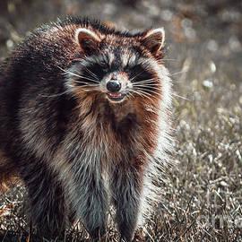 Daylight Raccoon II. Photograph by Stephen Geisel