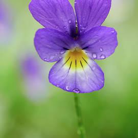 Deep purple Wild pansy by Jouko Lehto