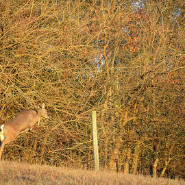 Deer Leaping Fence by Robert Tubesing
