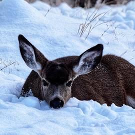 Deer Resting in Snow by Dana Hardy