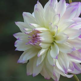 Delicate Dahlia - Floral Photography and Art - Dahlia Macro by Brooks Garten Hauschild