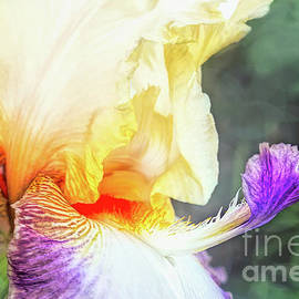 Delicate Iris by Amy Dundon