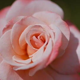 Delicate Pink And Apricot Rose  by Joy Watson