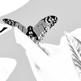 Delicate Wings by Alida M Haslett