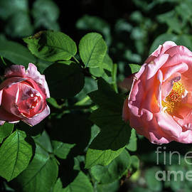 Delightful Pink Roses by Michelle Meenawong
