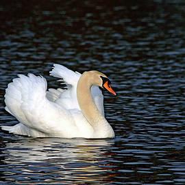 Demure Mute Swan by Debbie Oppermann