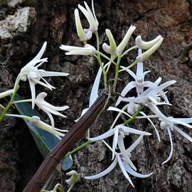 Dendrobium aemulum by Athol KLIEVE