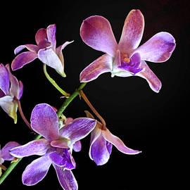 Dendrobium Orchid 'Centennial Blue' by Susan Maxwell Schmidt