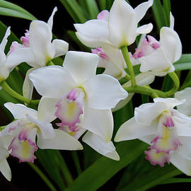 Dendrobium Orchid by Isabela and Skender Cocoli