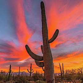 Saguaro Dream by Steve Luther