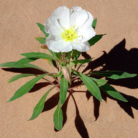Desert Primrose by Douglas Taylor
