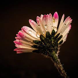 Dew drops on a Daisy Flower by Stephen Jenkins