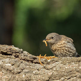 Dinner for Baby Bluebird by Jean Noren