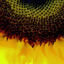 Disc floret of a Sunflower by Arlane Crump