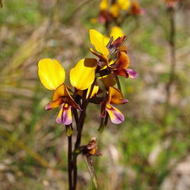 Diuris Group by Michaela Perryman
