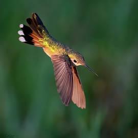 Dive-bombing for Nectar by Judi Dressler