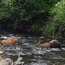 Doe and fawn crossing a stream by Jeff Swan