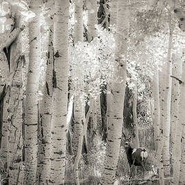 Doe In the Aspens B W by Donna Kennedy