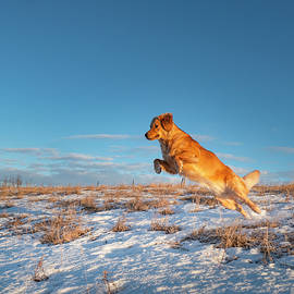Dog Leaping In Snow by Karen Rispin