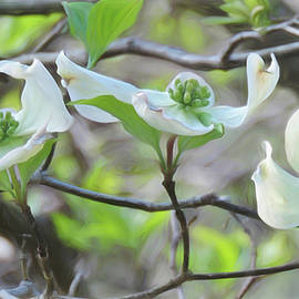 Dogwood Blooms by Susan Hope Finley