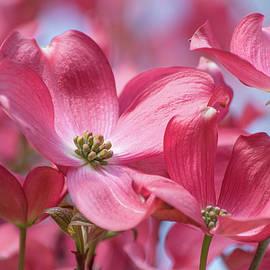 Dogwood Dream     Landscape Floral Portrait by Nancy Jacobson