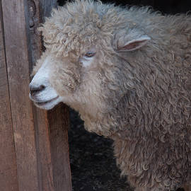 Domestic Sheep 3 by Christopher Flees