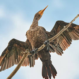 Double-crested cormorant by Jim Hughes