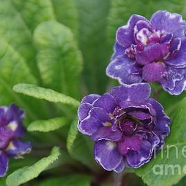 Double Primrose Belarina Amethyst Ice by Lesley Evered