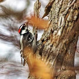 Downy Woodpecker by Francis Sullivan