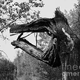 Dragon Tree  001  BW by Jor Cop Images