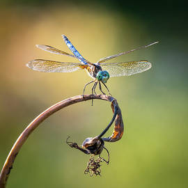 Dragonfly-2 by Morey Gers