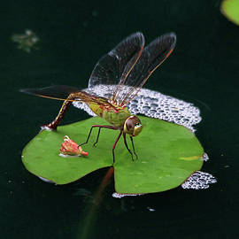 Dragonfly on a Lily Pad by Trina Ansel