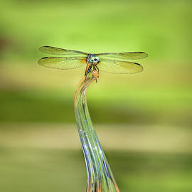 Dragonfly on Glass by Morey Gers