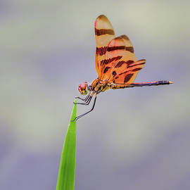 Dragonfly on Grass by Morey Gers