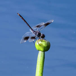 Dragonfly on the Lily by John Wall