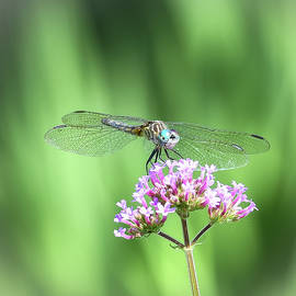 Dragonfly Resting  by Mary Lynn Giacomini