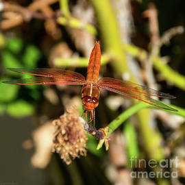 Dragonfly Spreading Its Pretty Wings by Susan Wiedmann