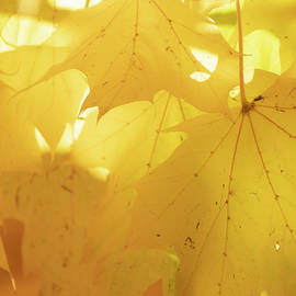 Dreamy Fall Leaves by Catherine Avilez
