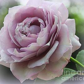 Dreamy Lavender Rose by Dora Sofia Caputo